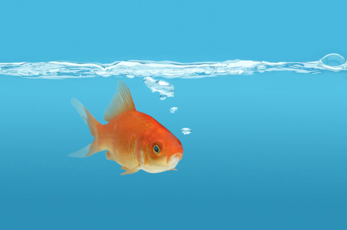 Goldfish background wisc online oer for Fish swimming video