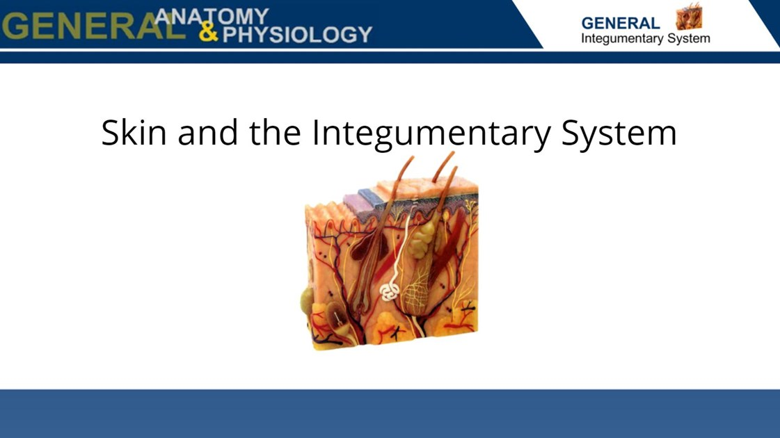 Skin And The Integumentary System Wisc Online Oer